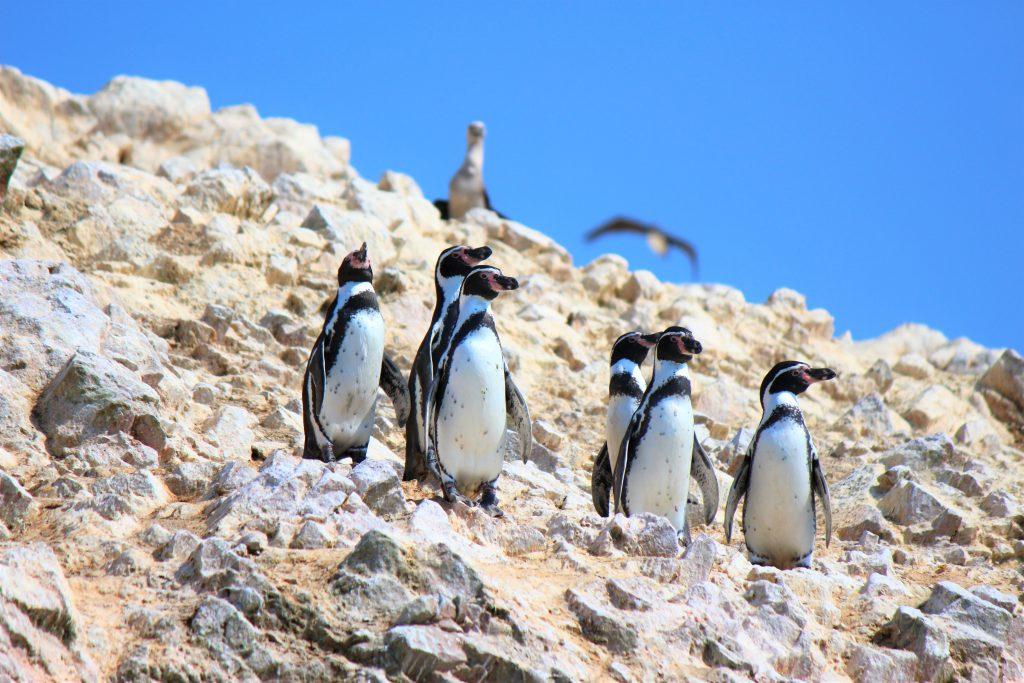 世界一周旅行南米ペルー観光スポットバジェスタ島ペンギン