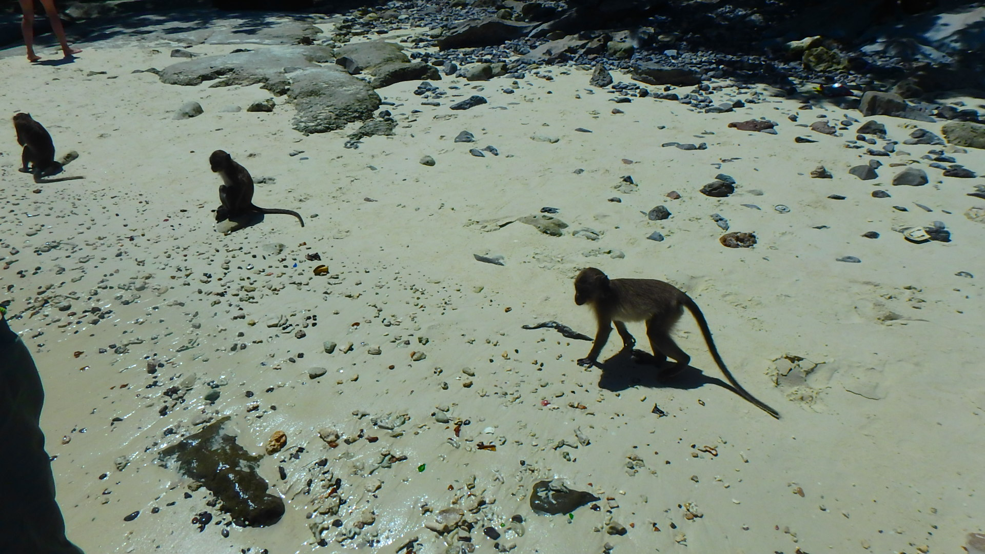 ピピ島モンキービーチの猿は可愛いけど危険