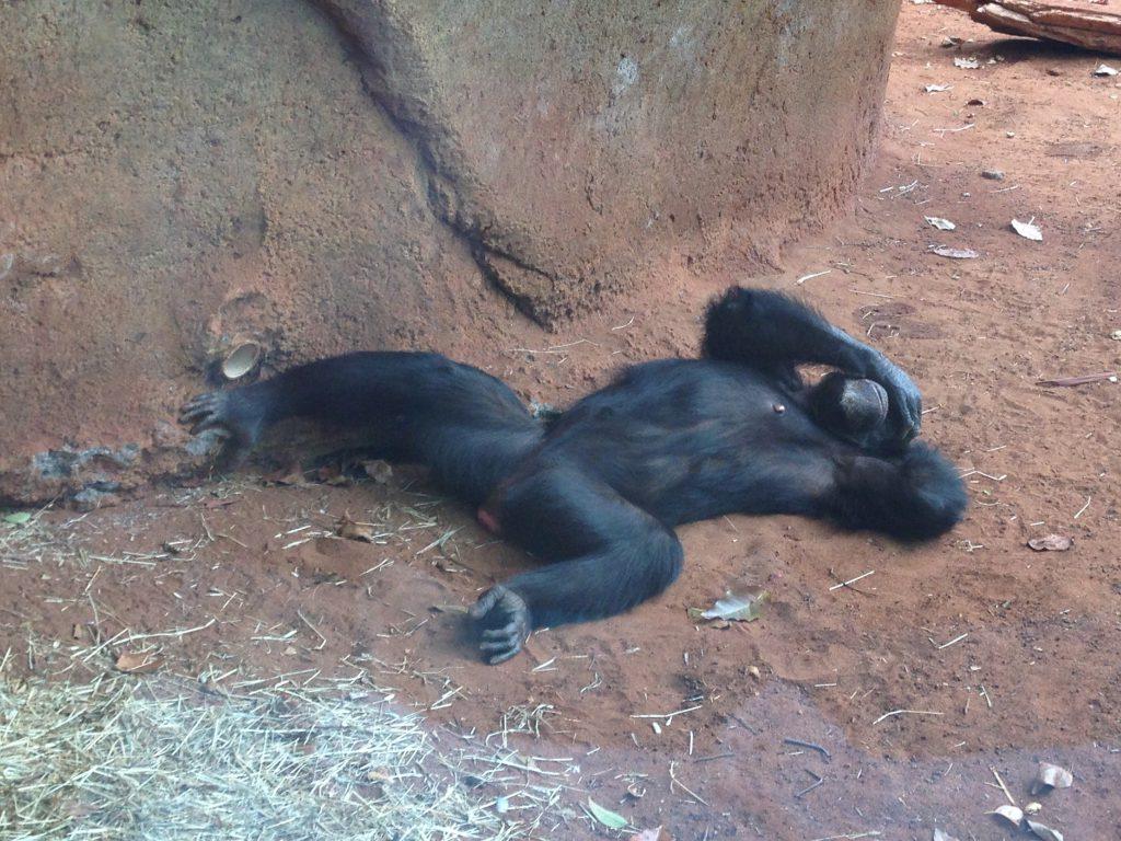 ハワイワイキキの動物園HonoluluZoo南国モードのチンパンジー
