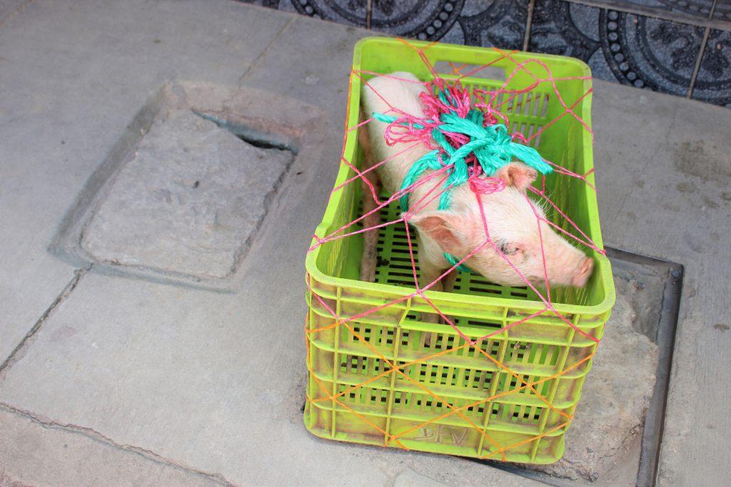 中米グアテマラの家畜市 売られる子豚
