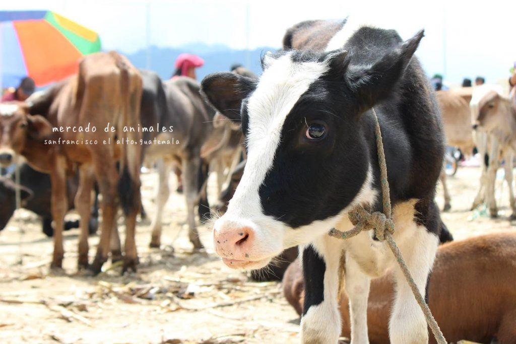 グアテマラの面白い観光スポット 金曜日の家畜市