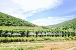 カンボジア カンポット 胡椒農園