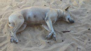 フーコック ビーチで寝る犬