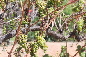 インレー湖の美味しいワイン