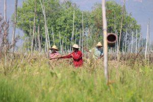 ミャンマー トマトの水上栽培 インレー湖