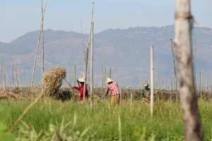 ミャンマー トマトの水上栽培