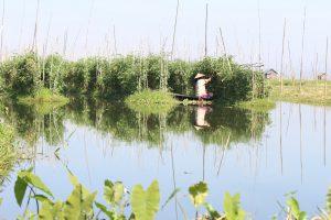 インレー湖 トマトの水上栽培