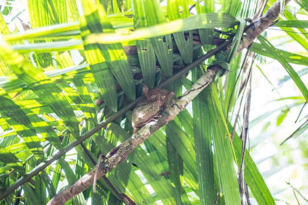 世界一小さいメガネザル ターシャ フィリピンのボホール島