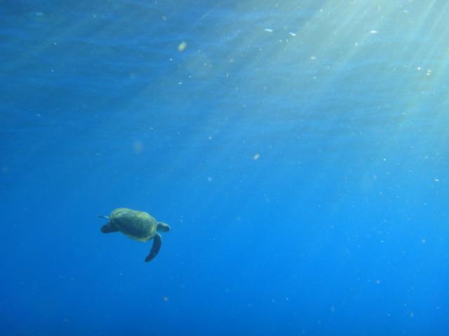 八丈島でダイビング ウミガメが見れる