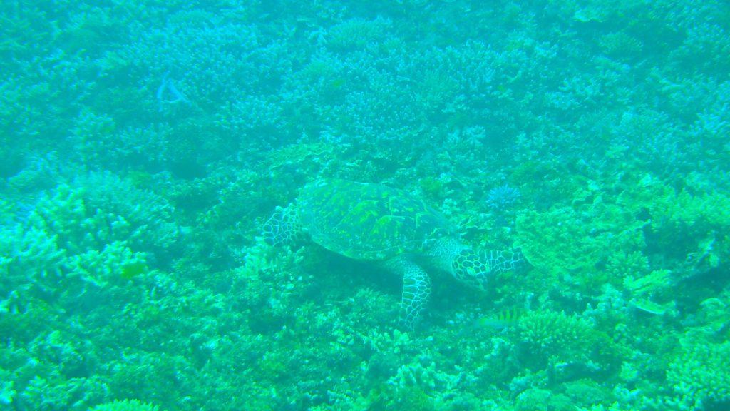 鳩間島でシュノーケリングツアー ウミガメ