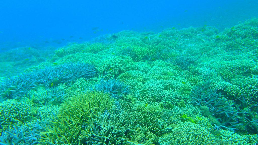 鳩間島でシュノーケリング 生きている珊瑚礁