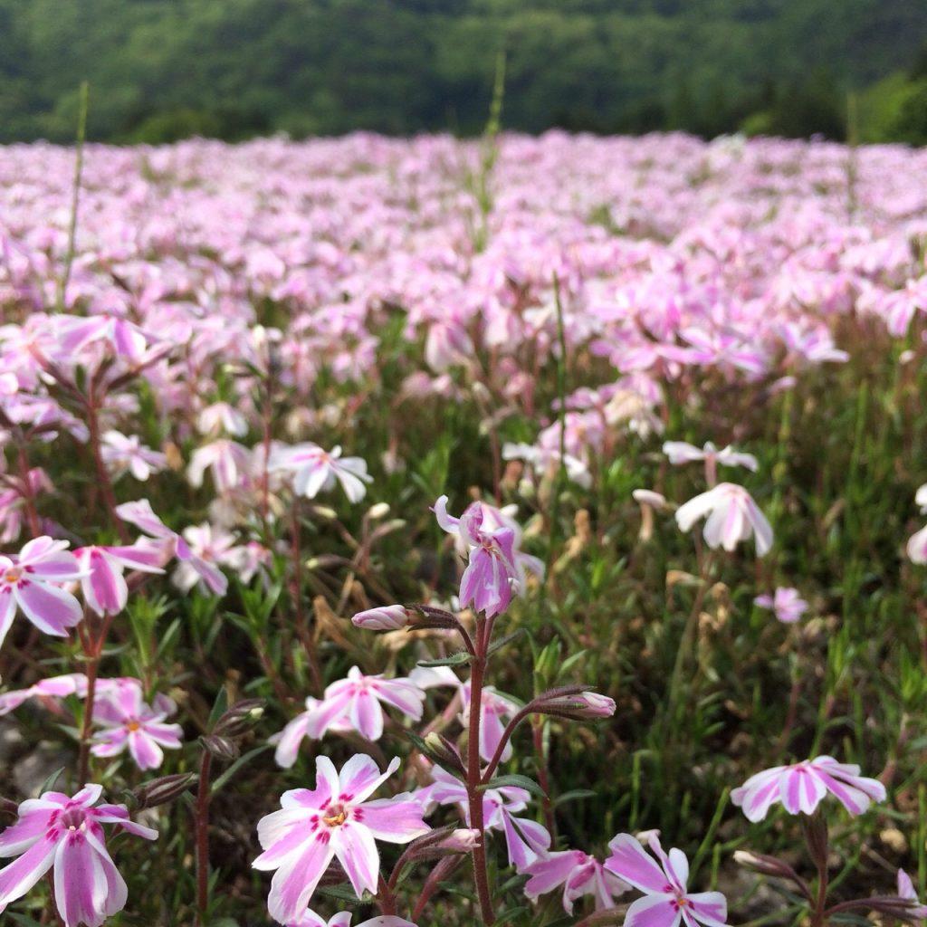 富士 芝桜まつり 山梨旅行